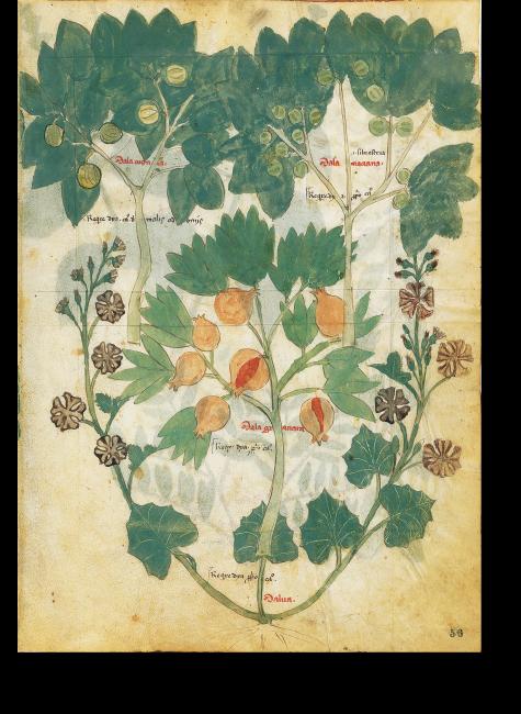 »Granatapfel«, Dioscurides, Sammlung der Heilmittel, Chig. F.VII. 158, fol. 56r, Italien um 1400. Die Illustration zeigt den für den Mittelmeerraum typischen Granatapfel, eingerahmt von einer Quitte, einem Holzapfel und einer Malve