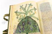 Historia Plantarum, Ms. 459 - Biblioteca Casanatense (Rome, Italy) − photo 5