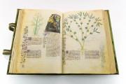 Historia Plantarum, Ms. 459 - Biblioteca Casanatense (Rome, Italy) − photo 12