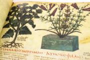 Dioscorides Neapolitanus, Naples, Biblioteca Nazionale Vittorio Emanuele III, Ms. ex Vindob. gr. 1 − Photo 3