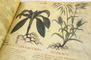Dioscorides Neapolitanus, Naples, Biblioteca Nazionale Vittorio Emanuele III, Ms. ex Vindob. gr. 1 − Photo 9