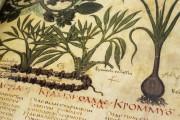 Dioscorides Neapolitanus, Naples, Biblioteca Nazionale Vittorio Emanuele III, Ms. ex Vindob. gr. 1 − Photo 12