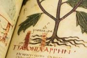 Dioscorides Neapolitanus, Naples, Biblioteca Nazionale Vittorio Emanuele III, Ms. ex Vindob. gr. 1 − Photo 14